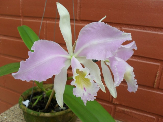 CATTLEYA warneri orquidea