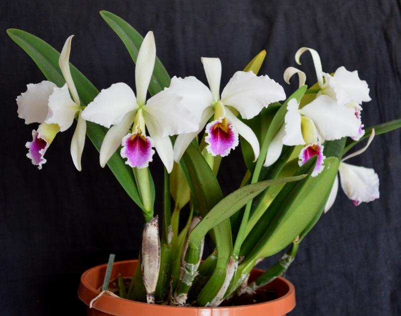 orquidea cattleya percivaliana